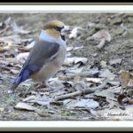 シメ(Hawfinch)        — '15.1.26—