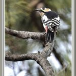 アカゲラ(Great Spotted Woodpecker)          —15.2.21—