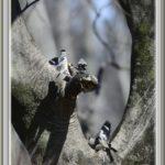 イカル(Japanese Grosbeak)のいる風景      —15.2.19—