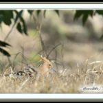 珍鳥-ヤツガシラ(Eurasian Hoopoe)    —'15.2.10—