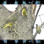 善福寺川界隈の冬の小鳥達