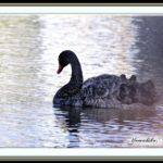 コクチョウ(Black Swan)・・・・思い出のページ・・・5年前の1月10日の記事     —15.3.9—