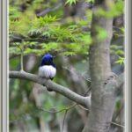 オオルリ(Blue&White Flycatcher)             —15.4.9—