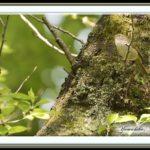ウグイス(Japanese Brush Warbler)    —15.4.14—