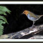 コマドリ(Japanese Robin)            —15.4.15—
