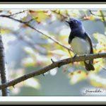 オオルリ(Blue&White Flycatcher)         —15.4.11—