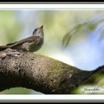 コサメビタキ(Asian Brown Flycatcher)        —15.4.26—