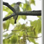 コサメビタキ(Asian Brown Flycatcher)        —15.4.19—