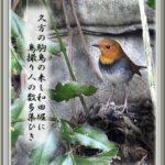コマドリ(Japanese Robin)            —15.4.12—
