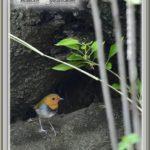 コマドリ(Japanese Robin)            —15.4.16—