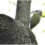 アオゲラ(Japanese Green Woodpecker)      —15.5.6—