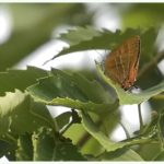 アカシジミ( Orange Hairstreak)       —'15.5.21—