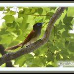 サンコウチョウ(Japanese Paradise Flycatcher)         — 2015.5.24—