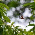 アサギマダラ(Chestnut Tiger)                       —15.6.2—