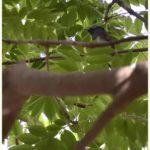 サンコウチョウ(Japanese Paradise Flycatcher)         — 2015.6.01—
