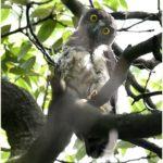 アオバズク(Brown Hawk Owl)