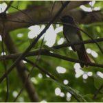 サンコウチョウ(Japanese Paradise Flycatcher)         — 2015.8.27—