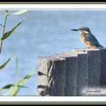 カワセミ(Common Kingfisher )         —15.9.23—