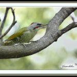 今日一番、森一番のカラフルな鳥ーアオゲラ(Japanese Green Woodpecker)  他   —15.9.29—