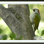 アオゲラ(Japanese Green Woodpecker)      —15.9.20—