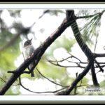 コサメビタキ(Asian Brown Flycatcher)        —15.9.17—