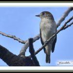 コサメビタキ(Asian Brown Flycatcher)        —15.9.19—