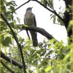 ツツドリ(Oriental Cuckoo)                      —15.9.3—