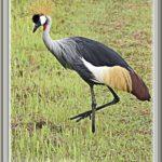 ホオジロカンムリヅル(grey crowned crane )       —15.9.22—