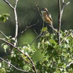 モズ(Bull-headed Shrike)   —15.4.20—