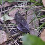 アケビコノハ(通草木葉蛾、学名: Eudocima tyrannus)   —15.10.25—