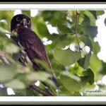アオバズク(Brown Hawk Owl)      —15.10.19—