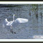 ダイサギ(Great Egret)             — 15.10.4–