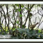 ウグイス(Japanese Brush Warbler)    —15.11.22—