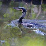 カワウ (great cormorant)  —10.2.20—