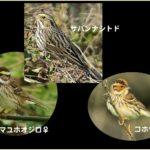 珍鳥サバンナシトド(Savanna Sparrow)と類似種との比較②    —2016.2.20—