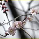 梅の花が咲き始めました。     —'16.2.8—