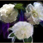 白椿(White Camellia)      —16.3.19—