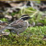 珍鳥-ヤマヒバリ(Prunella montanella- Siberian Accentor)                   —2016.3.23—