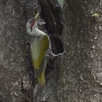 アオゲラ(Japanese Green Woodpecker)      —1.3.28—