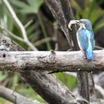 カワセミ(Common Kingfisher )              —16.3.29—
