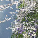 都心の千鳥ヶ淵近辺に校友とお花見に    —16.4.8—