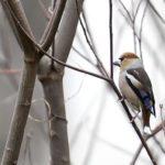 シメ(Hawfinch)       —16.4.4—