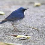 ⭐舳倉島遠征—-いつものお馴染みの小鳥たち—コルリ —16.5.2~6—