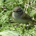 ⭐舳倉島遠征—-いつものお馴染みの小鳥たち—エゾムシクイ —16.5.2~6—