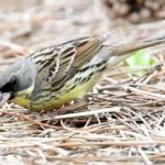 ⭐舳倉島遠征—-いつものお馴染みの小鳥たち—アオジ —16.5.2~6—