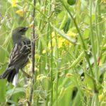 ⭐舳倉島遠征—-いつものお馴染みの小鳥たち—ノジコ —16.5.2~6—