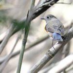 ⭐舳倉島遠征—-いつものお馴染みの小鳥たち—ルリビタキ —16.5.2~6—