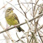 ⭐舳倉島遠征第4日―珍鳥-シマアオジ♀(Yellow-breasted Bunting)