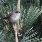 ☆舳倉島遠征第3日ームジセッカ(Dusky Warbler)&カラフトムジセッカ(Radde'sWarbler) –2016.5.3—