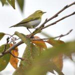珍鳥モリムシクイ(Wood Warbler P. sibilatrix)          — 2016.10.30—